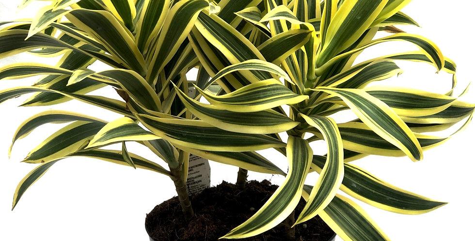 "Vibrant Green Dracaena 6"" Pot"