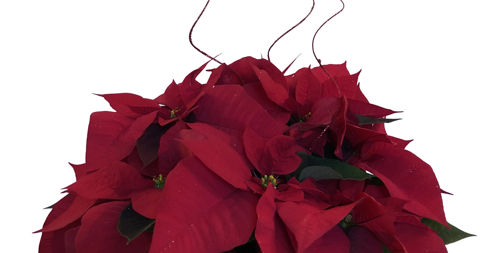 "Red Poinsettia in 6"" Wicker Pot With Bow and Ting"