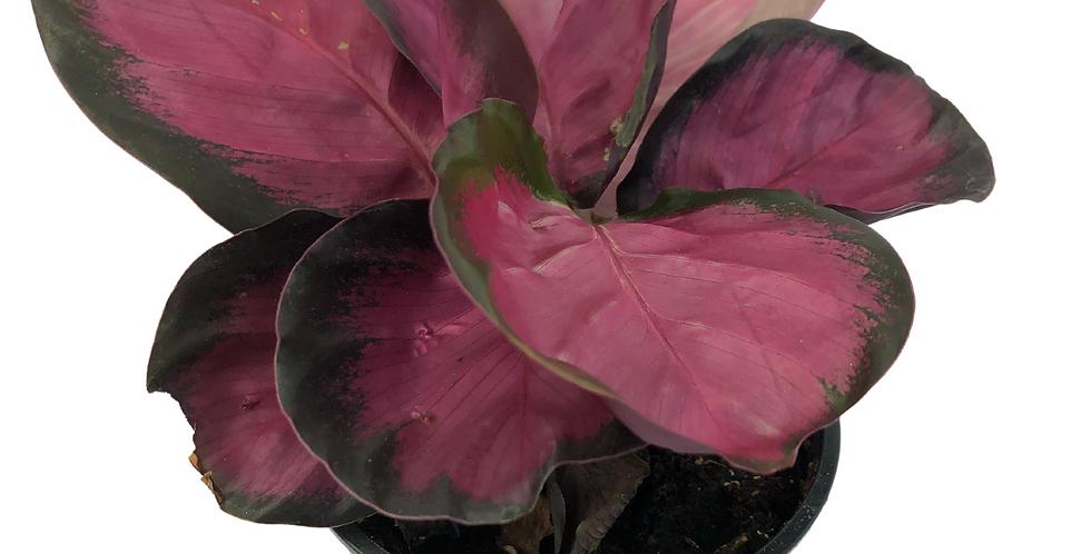 "Calathea Rosy 4 "" Pot"