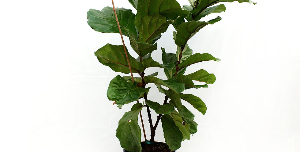 "Fiddle Leaf 12"" Pot"