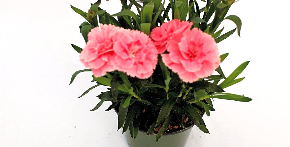 "Pink Carnation 4"" Pot"