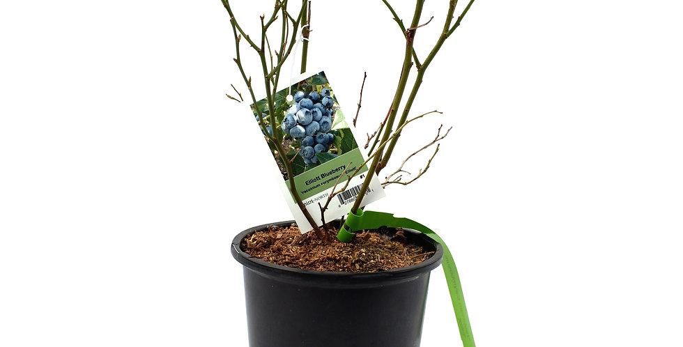 Blueberry Tree- Elliot