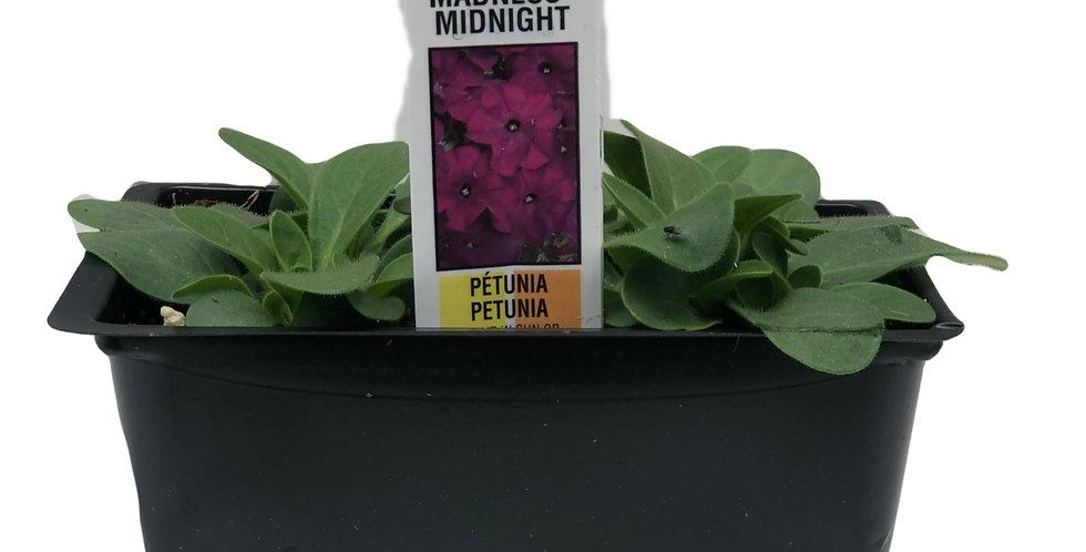Petunia Midnight Madness Cell Pack