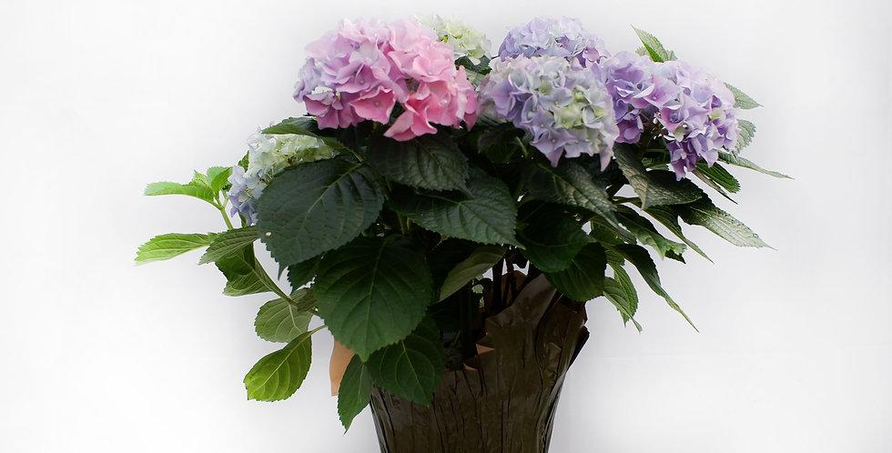 "Pink Hydrangea 6"" Pot"