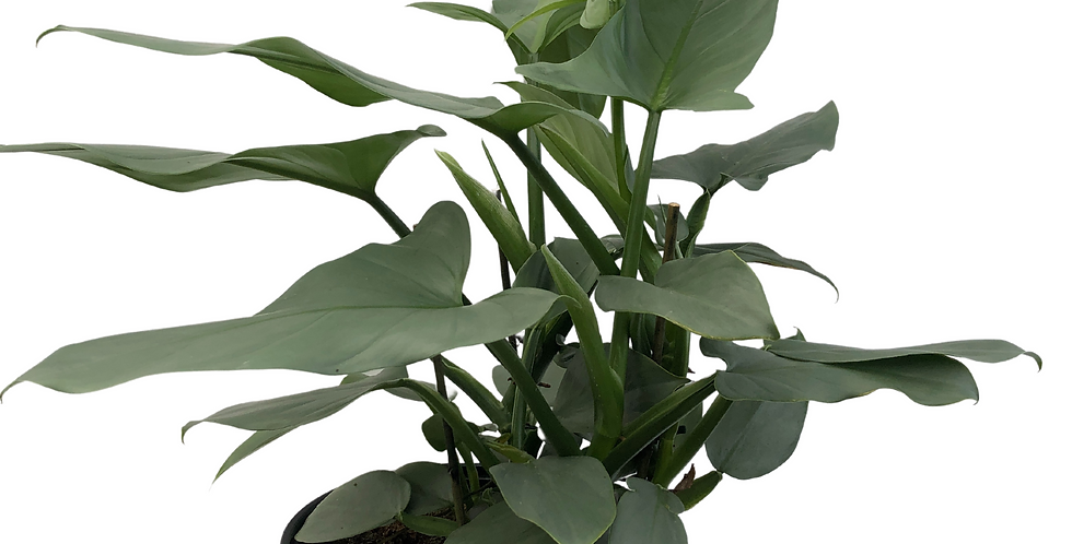 """Silver Sword Philodendron 10"""" Pot"""