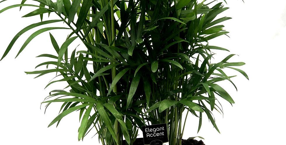 "Neanthe Bella Palm 6"" Pot"