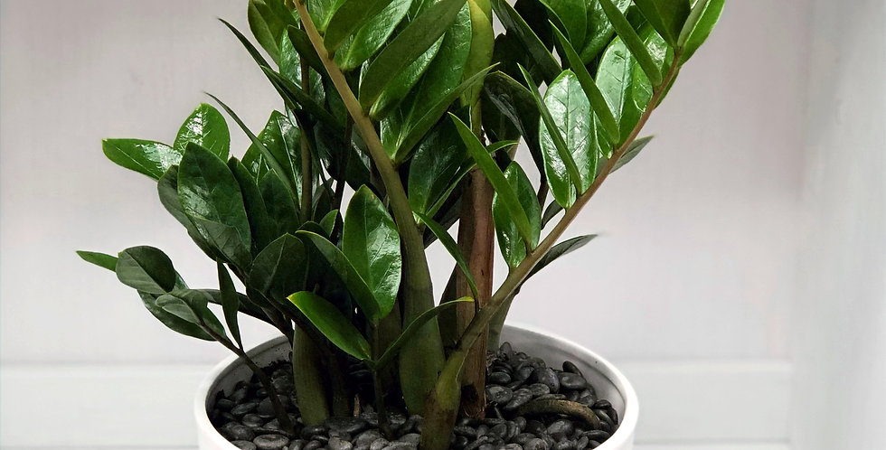 ZZ Potted Plant