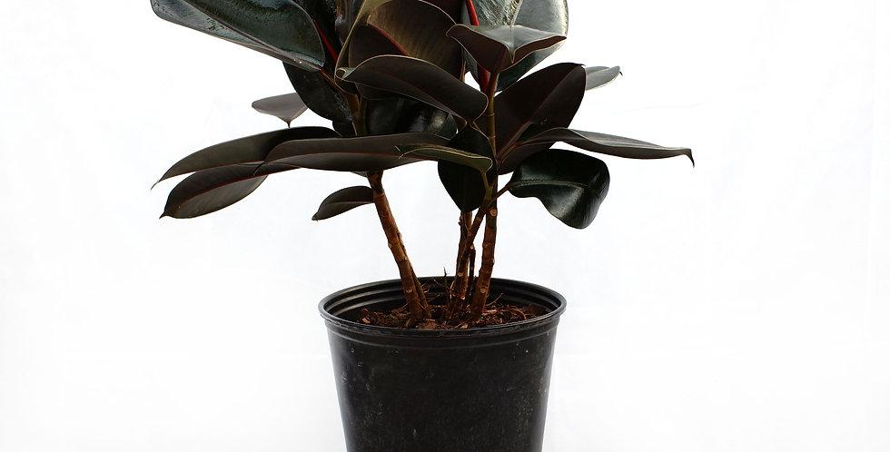 """Rubber Plant- Ficus 10"""" Pot"""