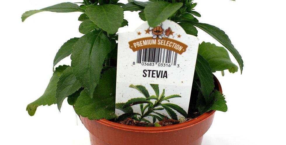 """Stevia 4"""" Pot"""