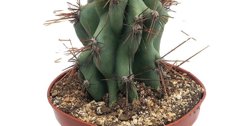 "6"" Cactus Tall"