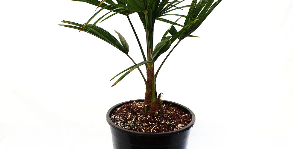 Windmill Palm 5 Gallon