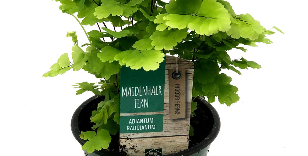 "Maidenhair Fern 4"" Pot Indoor Tropical"