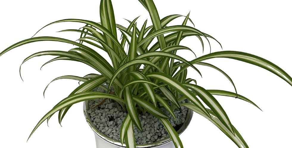 "Silver Chrome Planter- Spider Plant 4"" Pot"