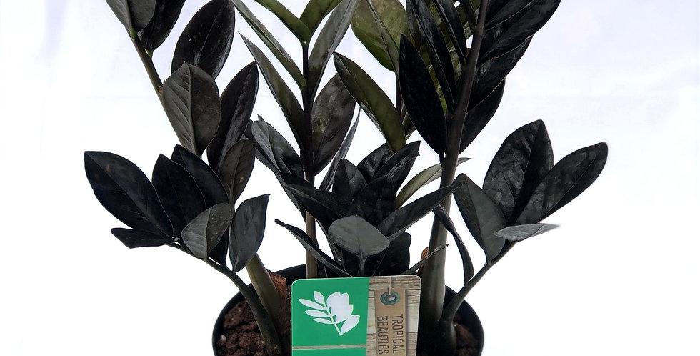 """Black Raven ZZ Plant 6"""" Pot"""