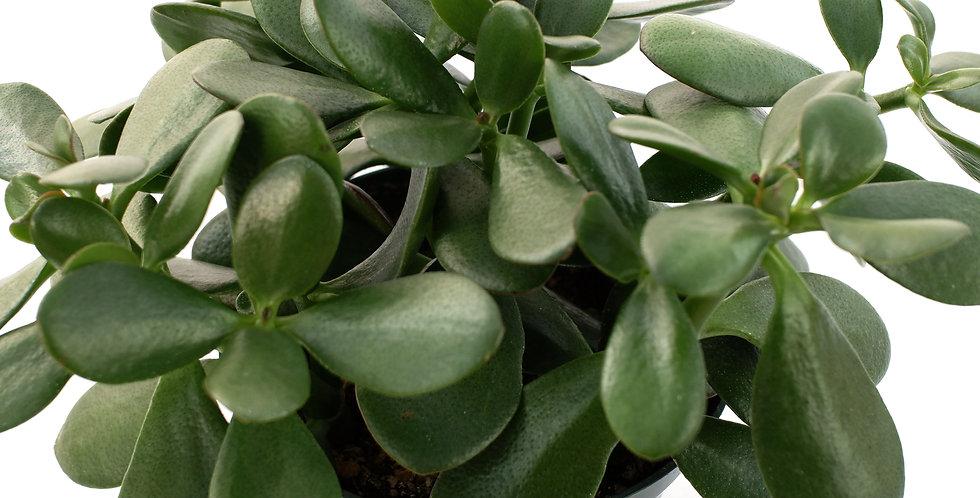 """Jade Plant 6"""" Pot"""