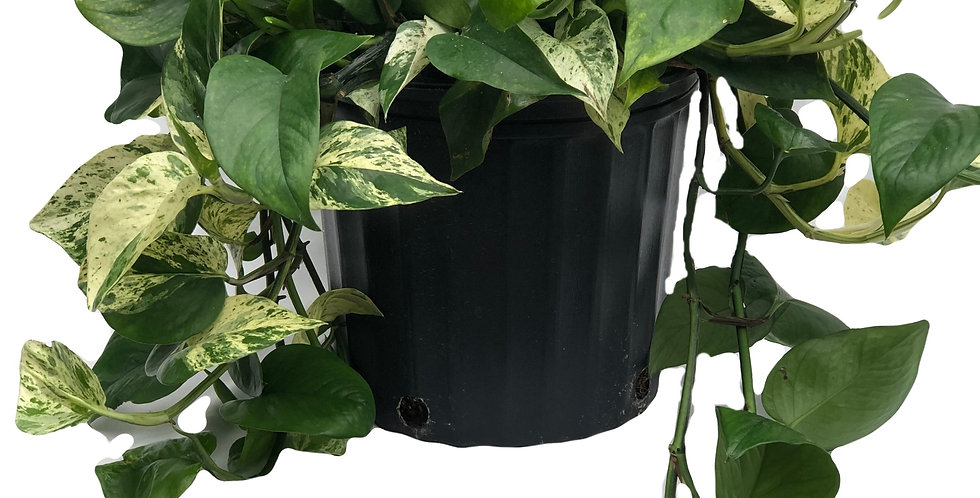 "Marble Queen Pothos 10"" Pot"