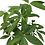"Thumbnail: Money Tree Pachira-6""Decorative Pot"
