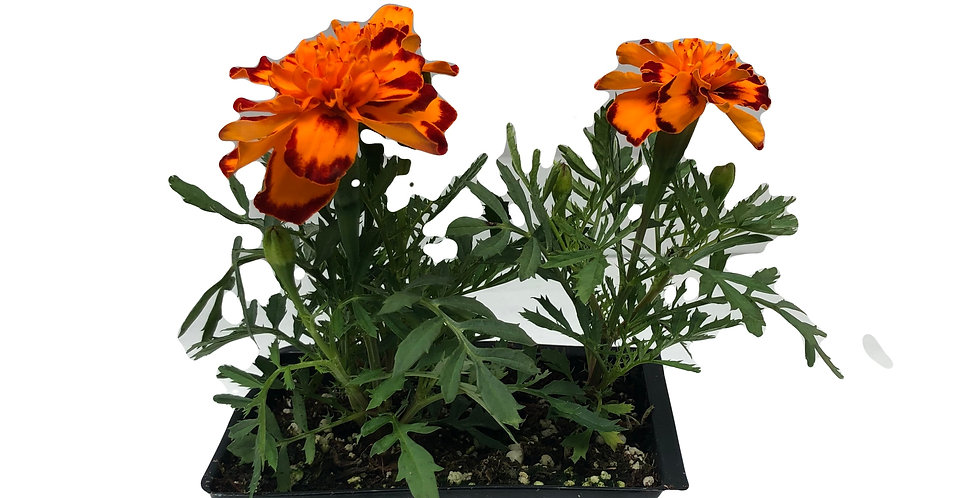 Marigold Orange Cell Pack