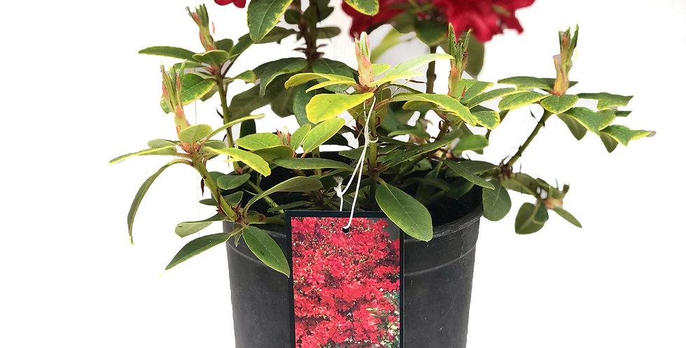 Scarlet Wonder Dwarf Rhododendron 1 Gallon