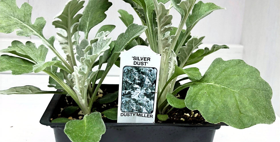 Dusty Miller Cell Pack