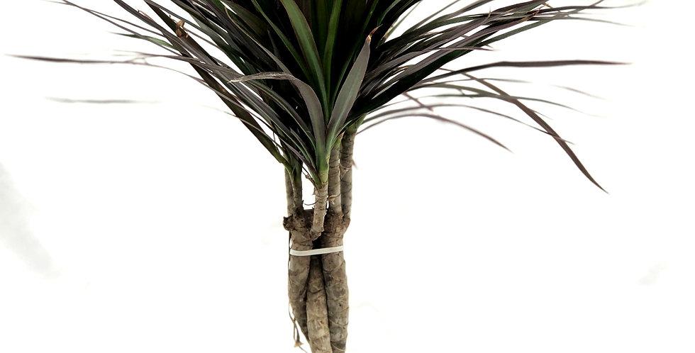 """Dracaena Dark Tropical Tree 6"""" Pot"""