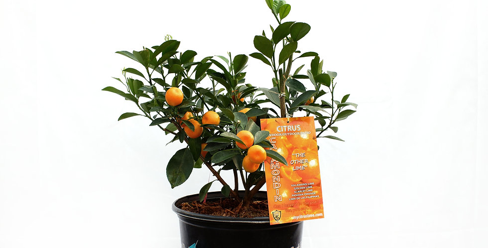 Calamondin Orange Tree- 5 Gallon Pot