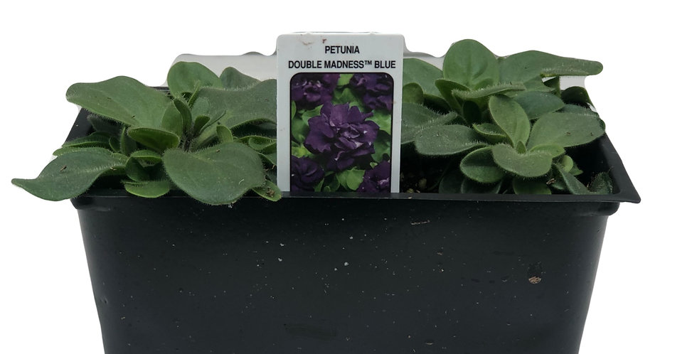 Petunia Double Madness Blue Cell Pack