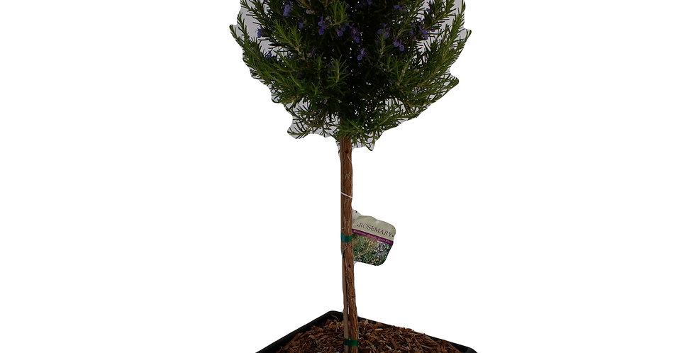 """Rosemary Topiary Tree 12"""" Pot"""