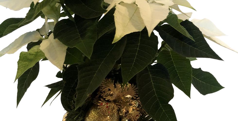 """White Princettia in 4"""" Pot Decorative Pot with a plant ornament"""