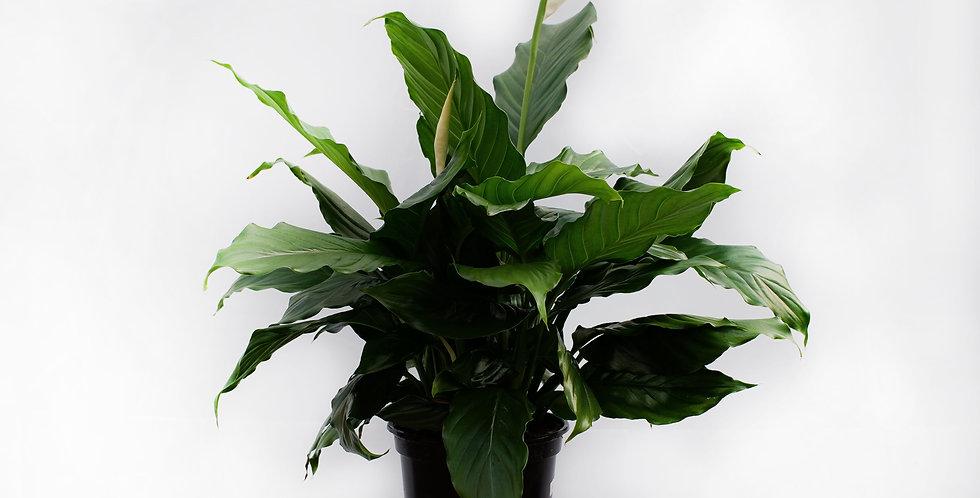 """Peace Lily 6"""" Pot"""