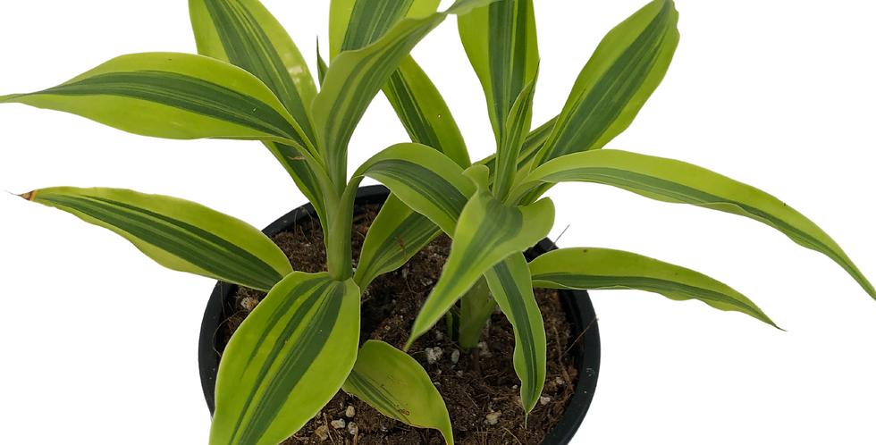 """Ribbon Plant- Lime Green 4"""" Pot"""