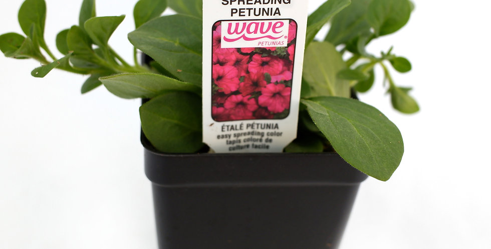 """Wave Purple Spreading Petunia 2"""" Pot"""