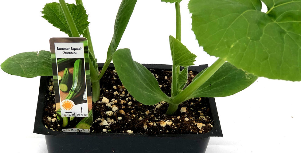Summer Squash Zucchini Cell Pack