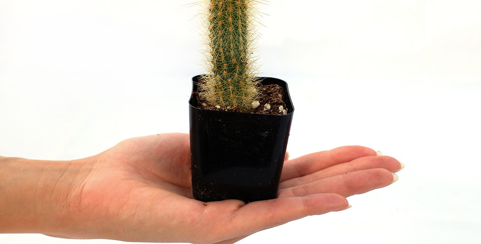 """Miniature Cactus Tall 2"""" pot"""