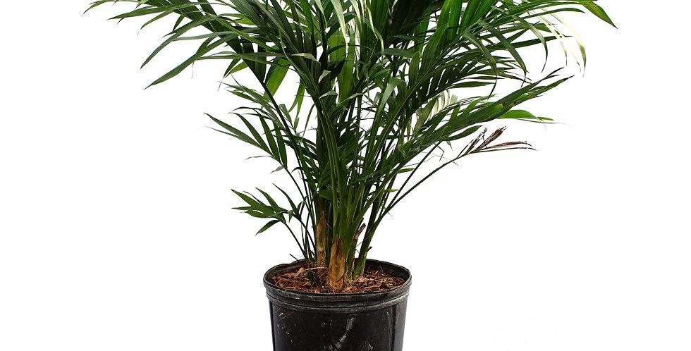 """Ravena Palm 10"""" Pot"""