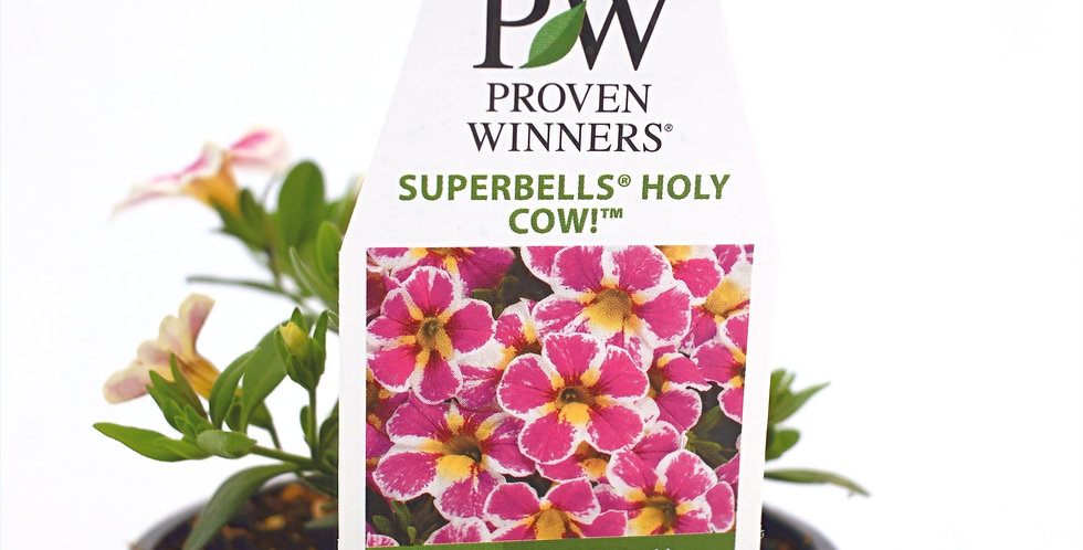 "Superbells Holy Cow! Calibrachoa Hybrid Pink, White, Yellow- Proven Winner4"" Pot"