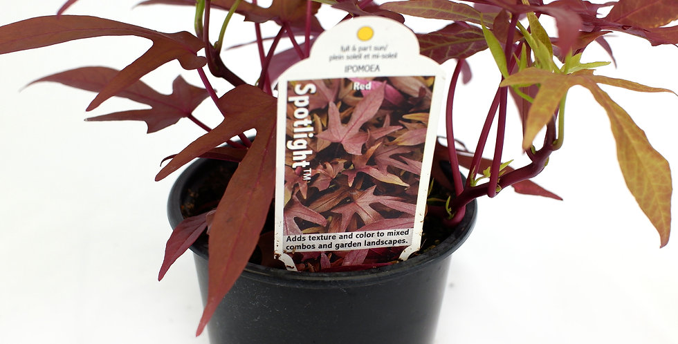 "Ipomoea Black Sweet Potato Vine 4"" Pot"