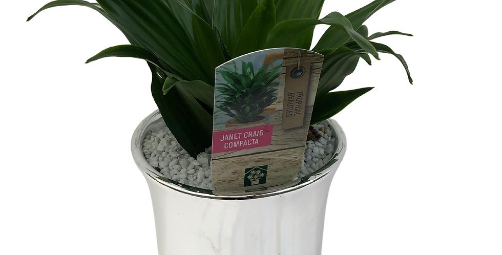"""Silver Chrome Planter- Janet Craig Compacta 4"""" Pot"""