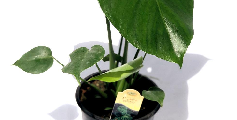 """Split Leaf Philo 6"""" Pot"""