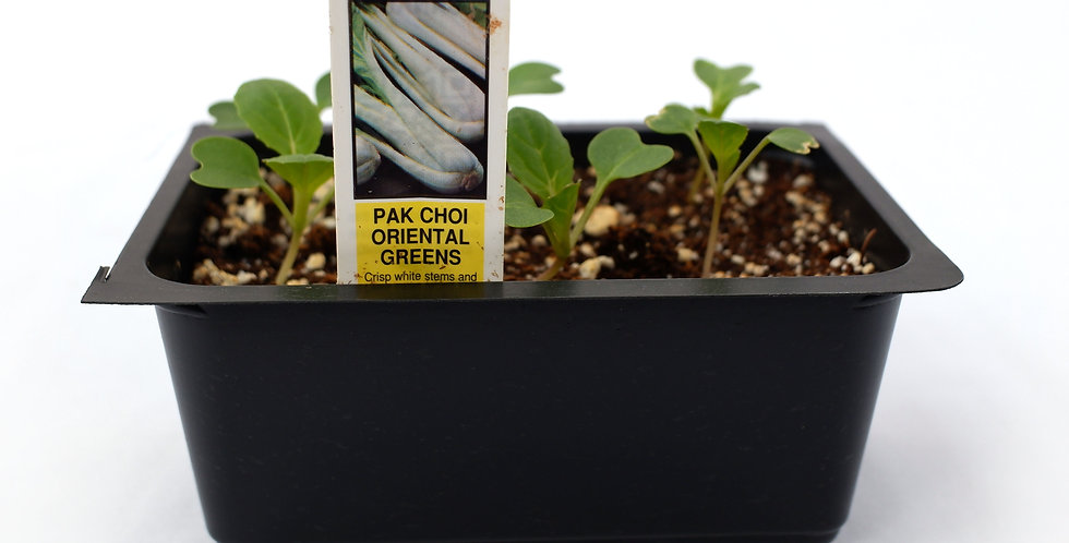 Pak Choi Oriental Gourmet White Stem- Cell Pack