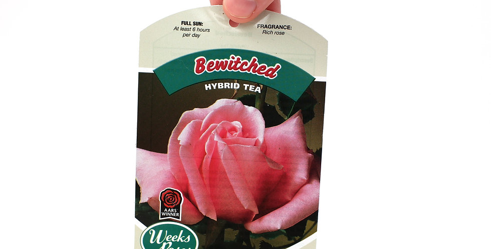 Rose Bush- Bewitched- 5 Gallon