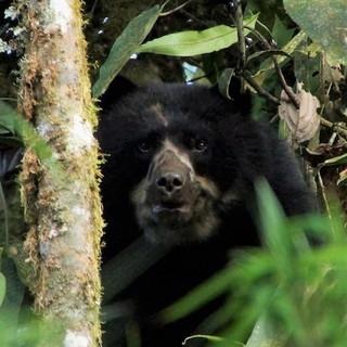 Andean bears