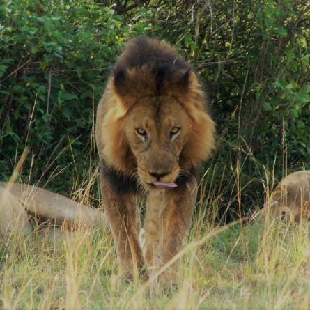 Lion monitoring