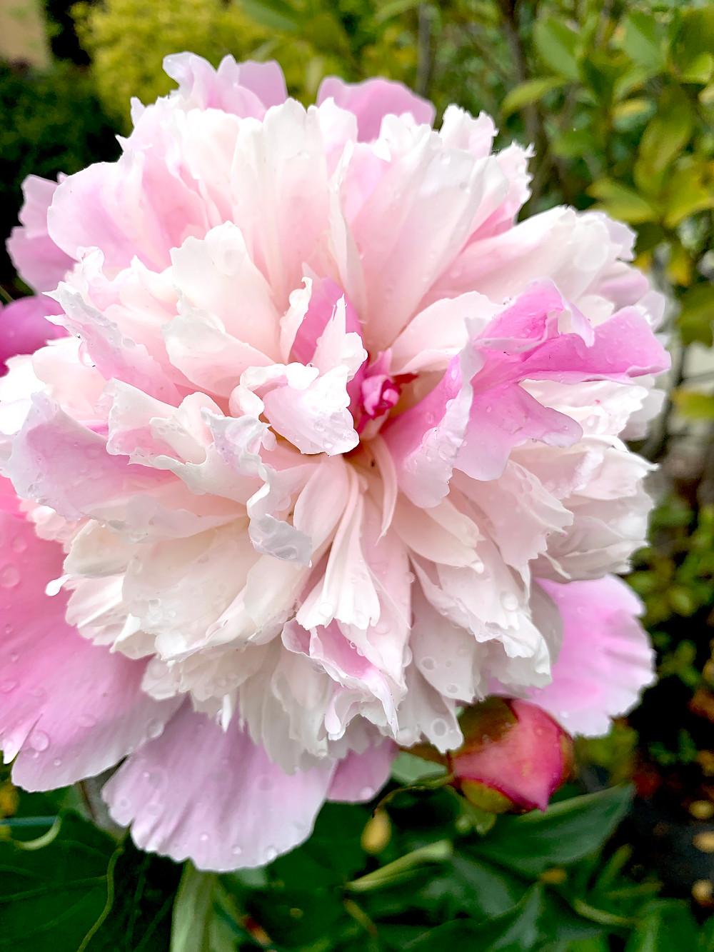 Peonie fiori di stagione significato e storia peonie mazzo di fiori consegna a milano