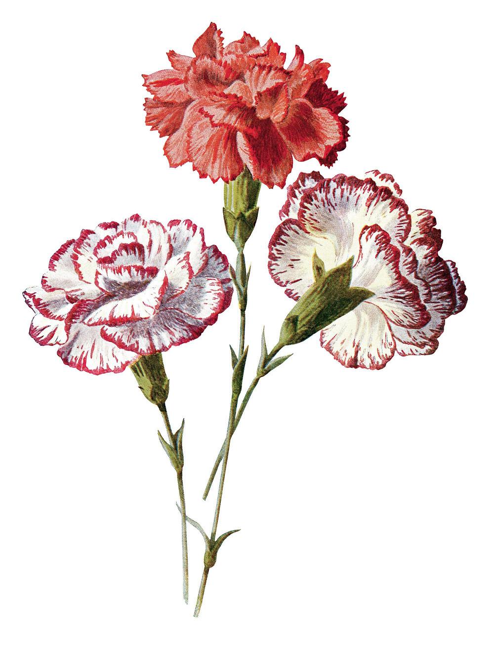 Garofani curiosità storia fiori domicilio