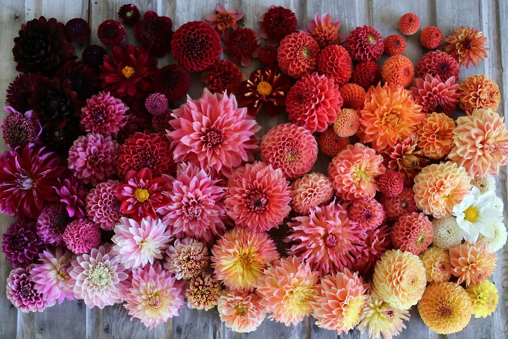 Dalia Dahlia fiori locali sostenibili di stagione fiori settembre floret flowers farm