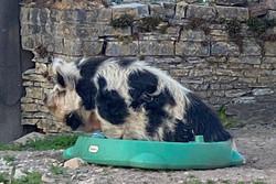 pig in a pool