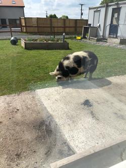 Run away pigs