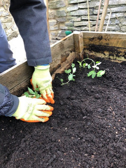 Planting Out