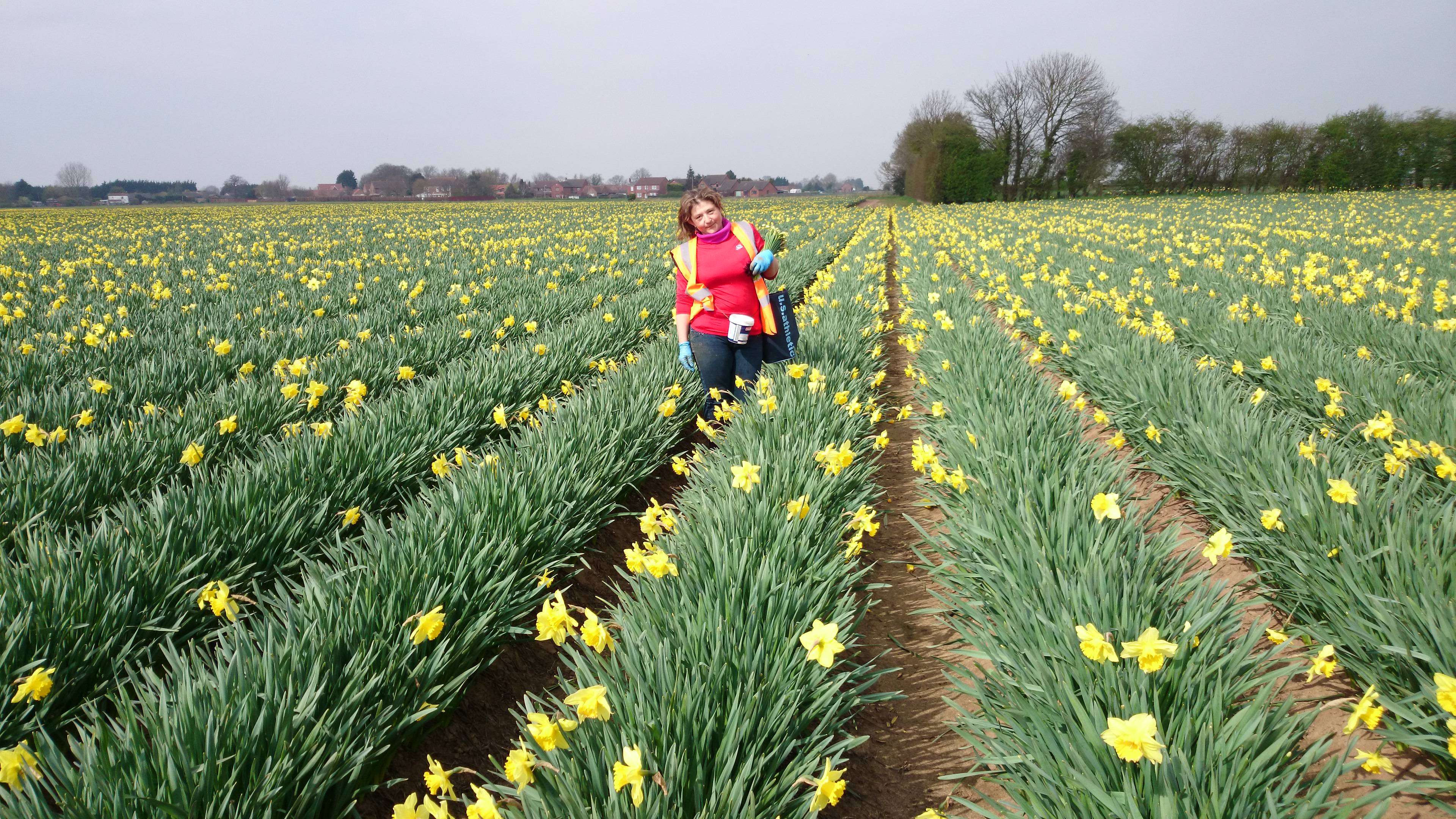 Daffodil Picking Lincolnshire